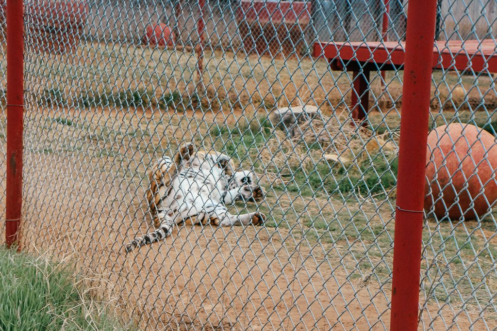 Best places to take Instagram Photos in Decatur Texas Tiger at Care