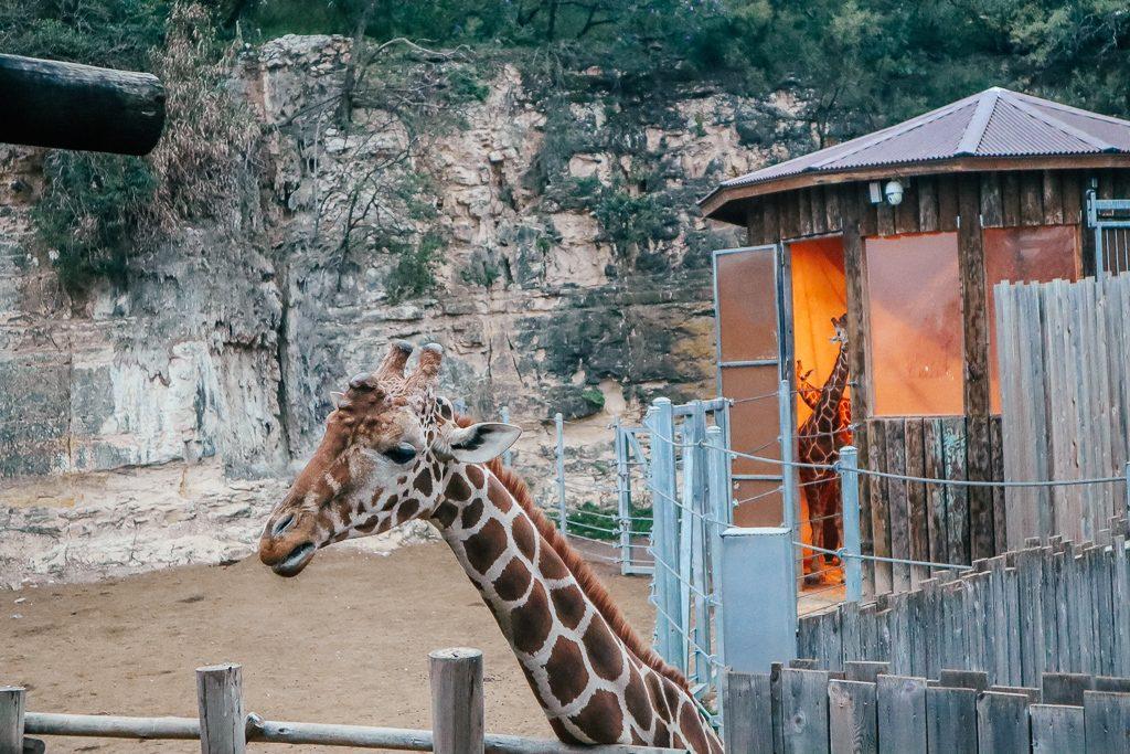 The San Antonio Zoo welcomes two new rhinos Giraffe at San Antonio Zoo