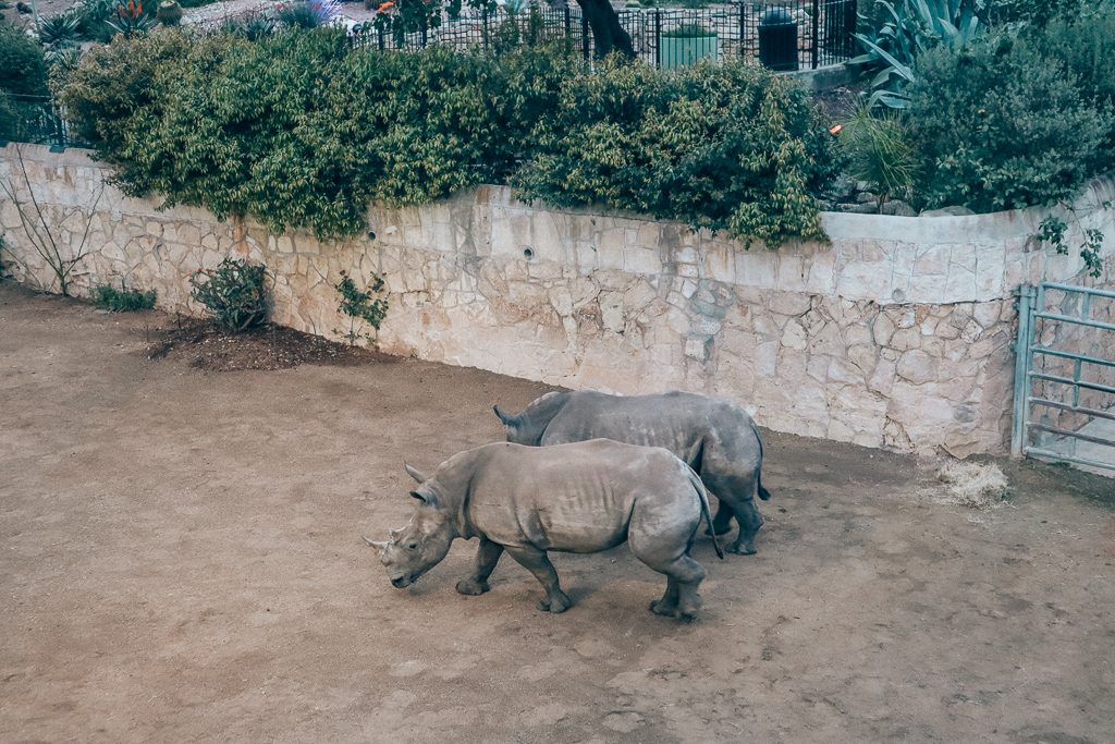 The San Antonio Zoo welcomes two new rhinos|Two rhinos walking side by side at San Antonio zoo