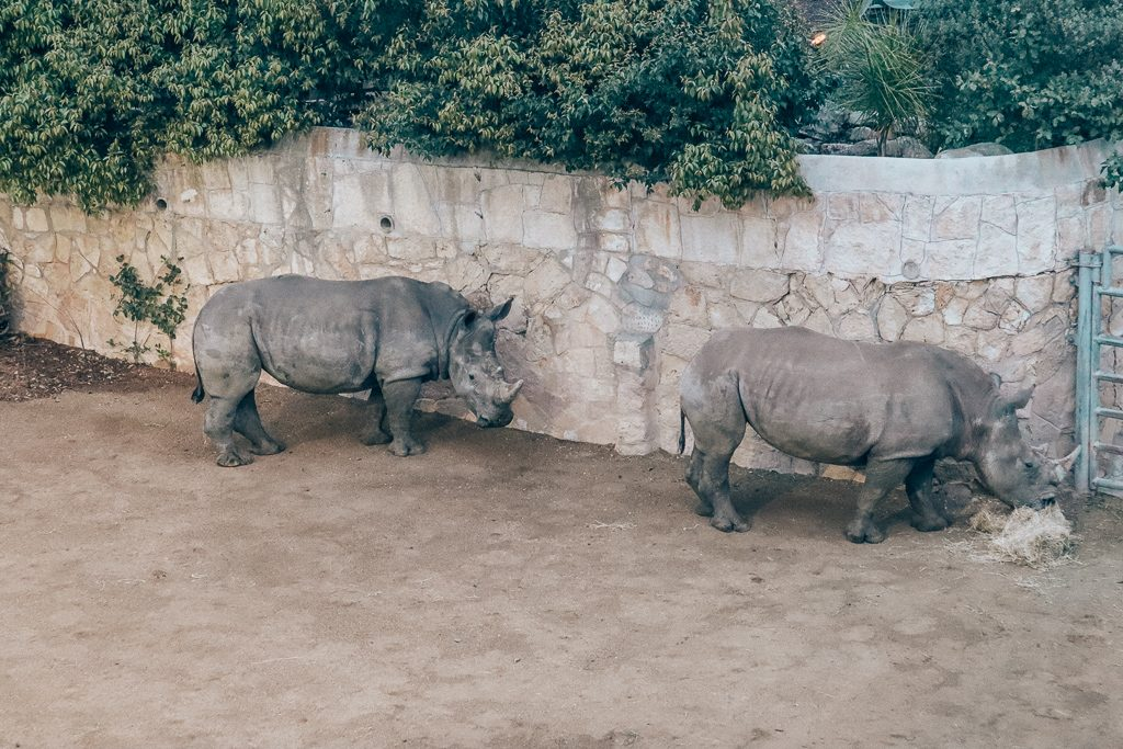 The San Antonio Zoo welcomes two new rhinos|Two rhinos eating hay together at San Antonio Zoo