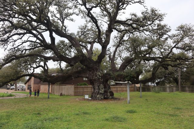 Second largest Live Oak tree in Texas