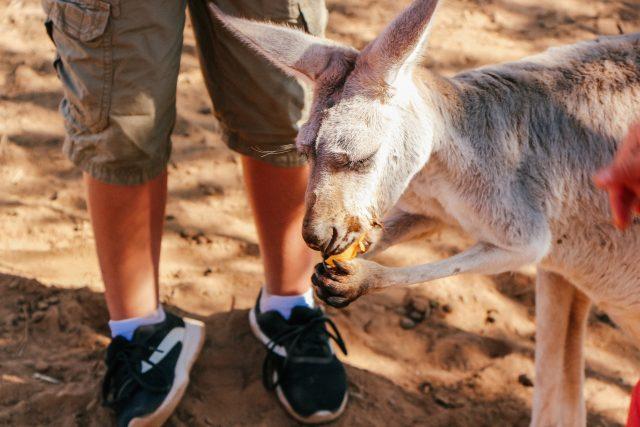 Kangaroos at Wasserman Wranch