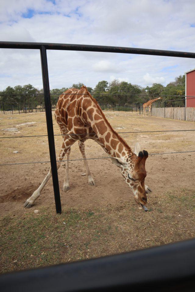 Giraffe at Natural Bridge Wildlife Ranch