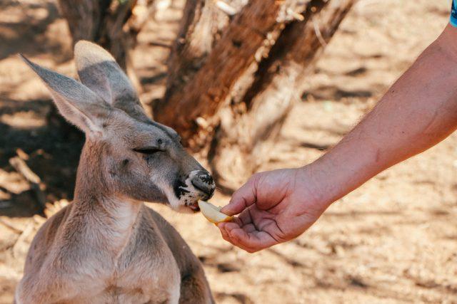 Feeding a kangaroo at Wassermann's Wranch